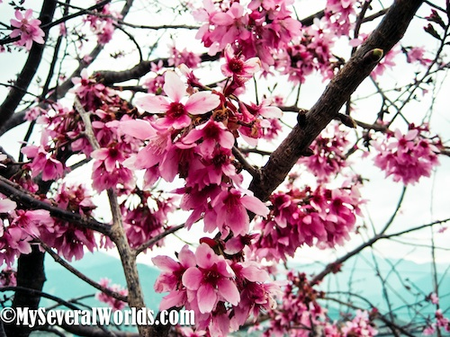 Cherry Blossom Festival in Taiwan