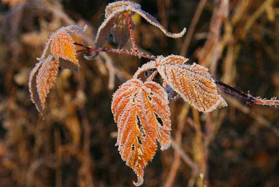 Photo Moment: Frosted Leaves