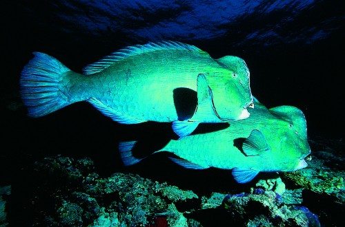 Giant bumphead parrotfish