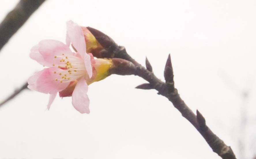 Yangmingshan Flower Festival 2017 – Cherry Blossom Season