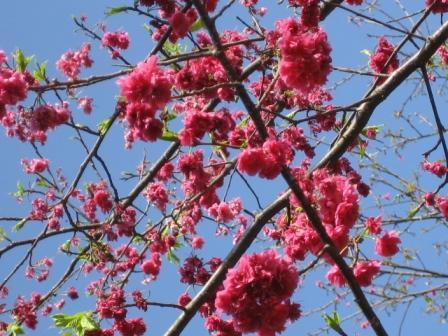 Yangmingshan Cherry Blossom Festival