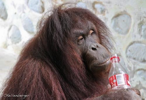 Jackie the Orangutan at Poring Hot Springs